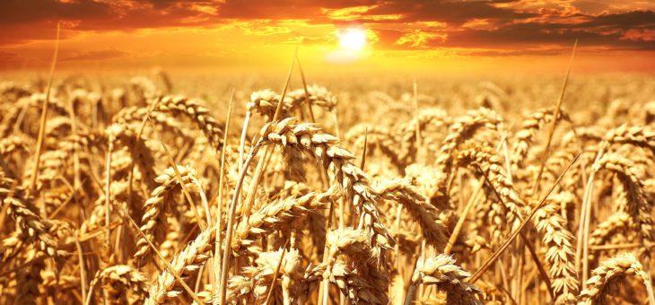 Погода может изменить показатели нового урожая