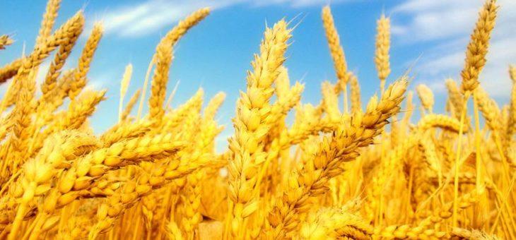 В 2019 году объем производства зерна в мире увеличится, однако объем запасов в сезоне 2019–2020 годов незначительно сократится