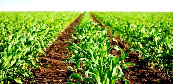 Посівна-2018: Кукурудзу на зерно вже посіяно на 91% прогнозних площ