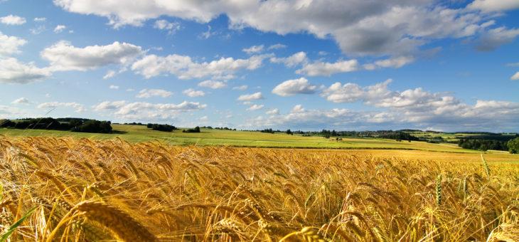 Цены на пшеницу ожидают итогов посевной кампании