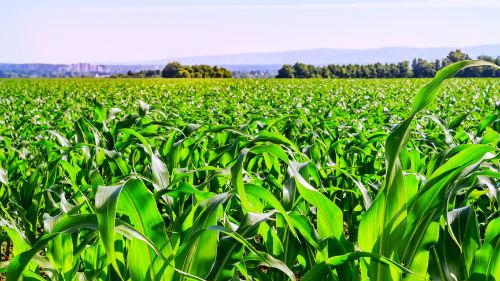 Цены на кукурузу в США растут из-за длительных осадков