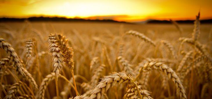 В Австралії чергова посуха може призвести до зниження врожаю пшениці в 2018/19 МР