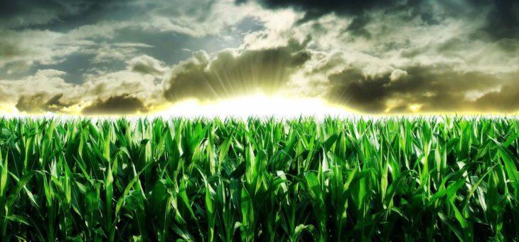 Цены на кукурузу под давлением большого предложения и низкого спроса
