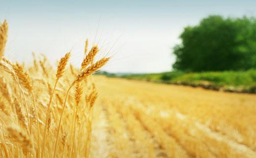Осадки в ЕС охладили биржевые цены на пшеницу