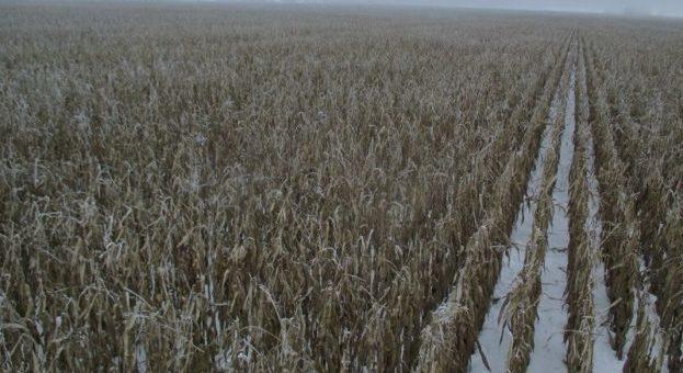 Сніг та морози затримують збирання сої та кукурудзи