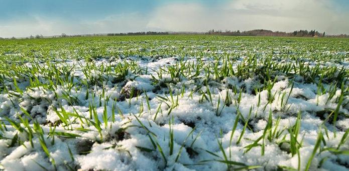 Погодные условия для озимых зерновых лучшие за несколько последних десятилетий