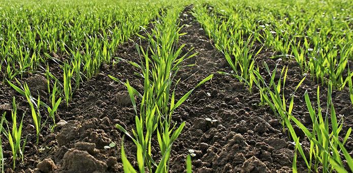 Прогнозировать влияние засухи на урожай озимых — преждевременно. Мнение эксперта