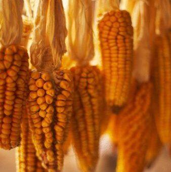 Турция наращивает импорт кукурузы